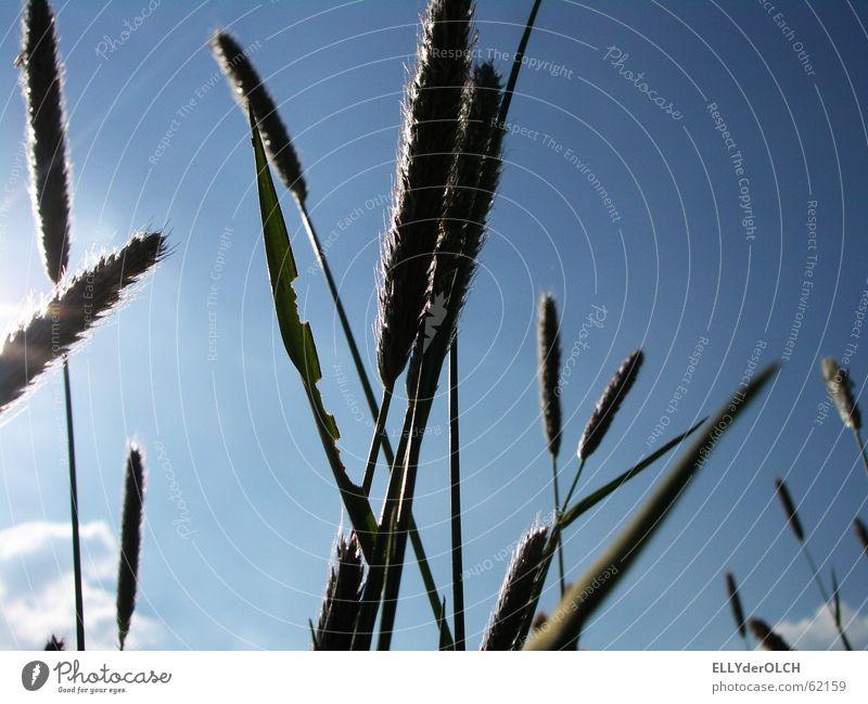 Sky Summer Grass Seed Quack