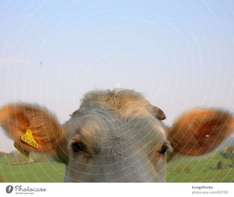 Sky Eyes Animal Ear Digits and numbers Pelt Cow Hollow Antlers Piercing Cattle Country life
