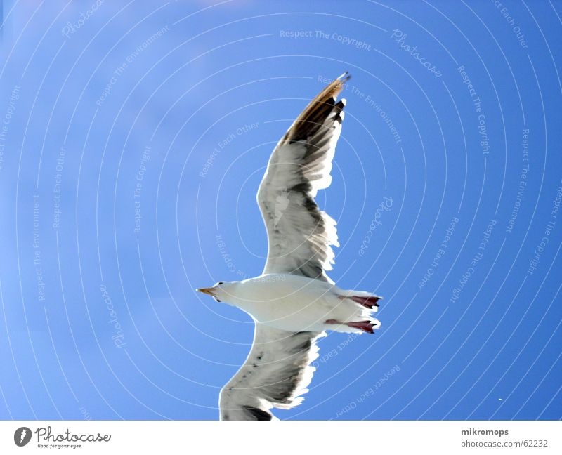 seagull in blue Seagull Albatros Under Worm's-eye view Clouds Blue Free Freedom Wing Flying Sky