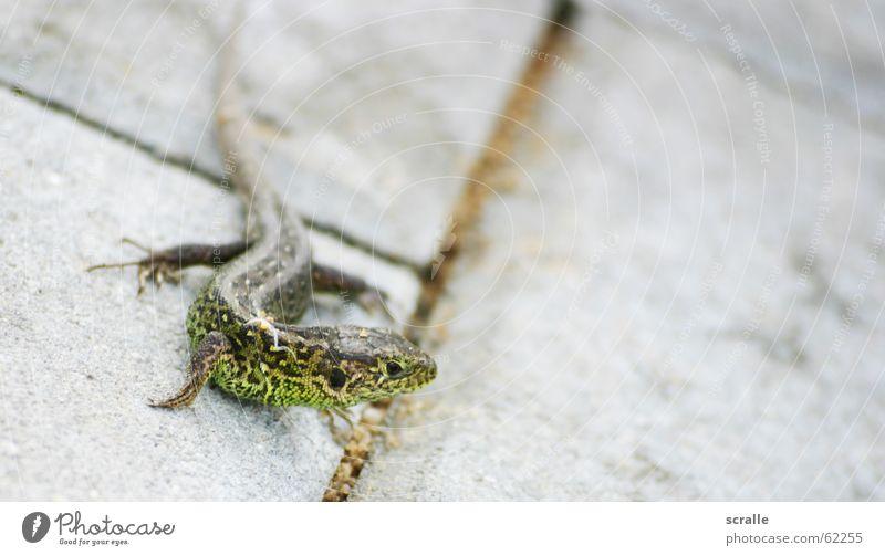 Green Animal Elegant Animalistic Tails Feed Dappled Saurians Lizards