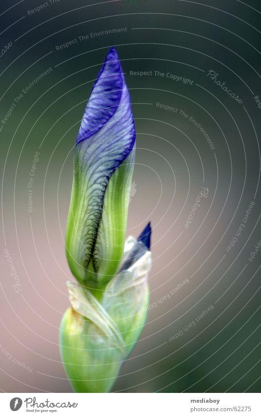 Flower Green Blue Plant Garden Fear Closed Fatigue Timidity Siberia