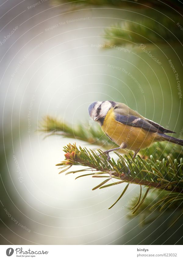 Caught Tree Fir tree Fir branch Bird Tit mouse 1 Animal Utilize Looking Esthetic Brash Astute Funny Idyll Nature Looking into the camera View to the side