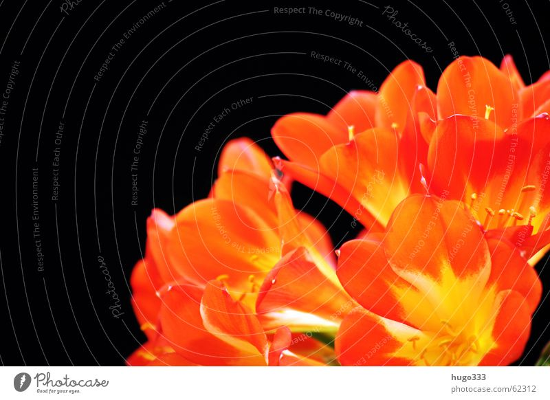 Clivia 2 Flower Blossom Red Yellow Black Dark Progress Sky Delicate Bush lily Pure bloom bright Smooth Orange exotic Virgin forest Signal beautiful Colour