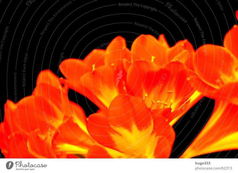 Clivia 3 Flower Blossom Red Yellow Black Dark Progress Sky Delicate Bush lily Pure bloom bright Smooth Orange exotic Virgin forest Signal beautiful Colour
