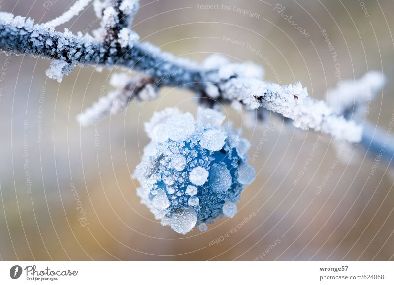 Blue White Plant Winter Cold Ice Fruit Large Bushes Frost Near Berries Agricultural crop Ice crystal Hoar frost Part of the plant