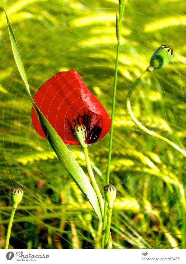 Flower Green Red Meadow Grass Wind Poppy Wheat Wheatfield
