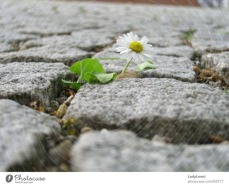 solitary flower Cobblestones Flower Stone Nature