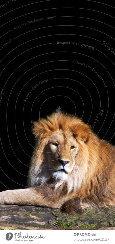 Black Animal Relaxation Hair and hairstyles Cat Success Might Africa Pelt Zoo Wild animal Boredom Tree trunk Mammal Respect King