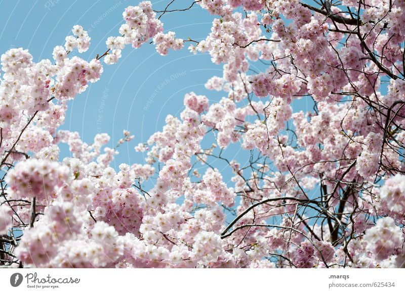 early bloomers Nature Plant Cloudless sky Spring Beautiful weather Cherry tree Cherry blossom Twig Blossoming Growth Esthetic Fresh Bright Natural New Emotions