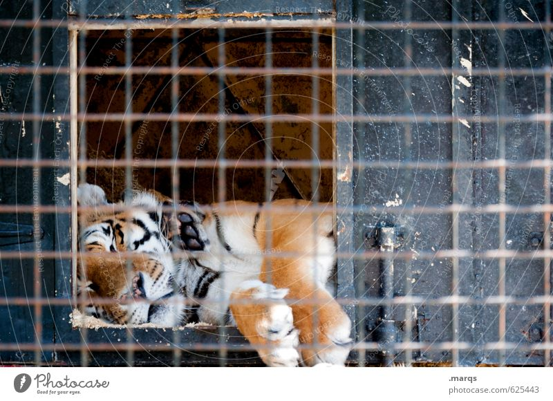 overslept Animal Wild animal Zoo Tiger 1 Cage Grating Relaxation Lie Sleep Dangerous Pelt Captured King Masculine Paw Big cat Environment Goof off Colour photo