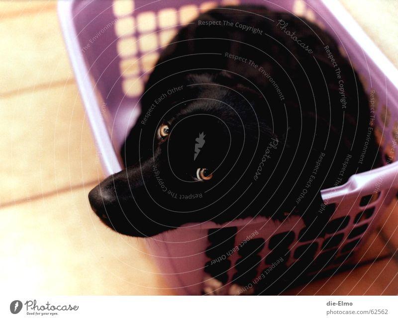 Dog Black Fear Sweet Violet Tile Washing Laundry Hallway Washing day Laundry basket Mix-up