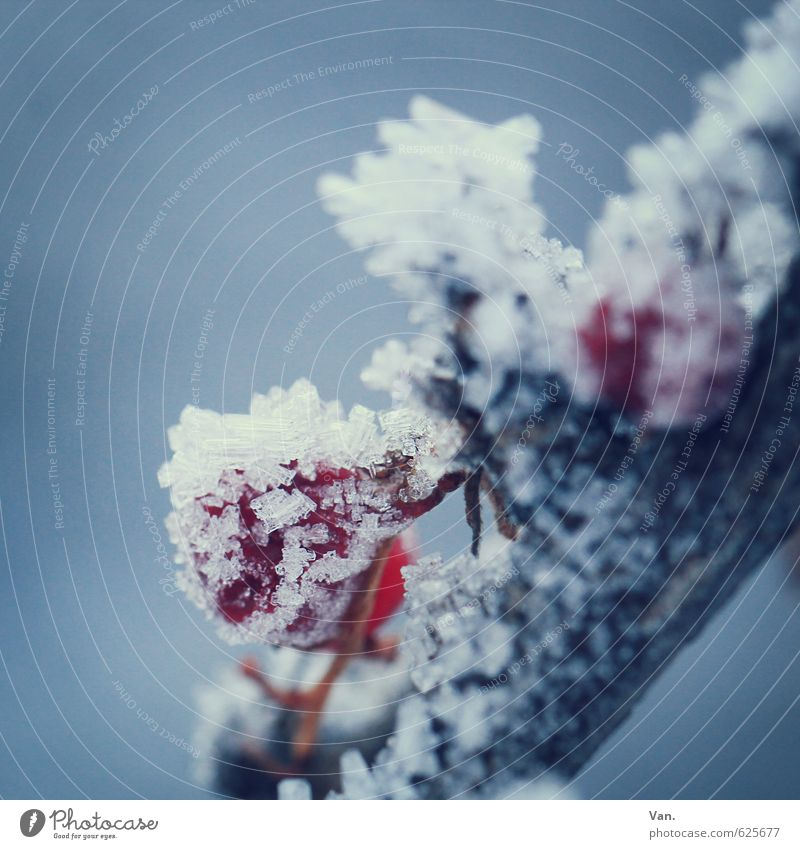 preserved Nature Plant Winter Ice Frost Snow Twig Berries Fruit Cold Soft Blue Gray Red Colour photo Subdued colour Exterior shot Close-up Detail Deserted
