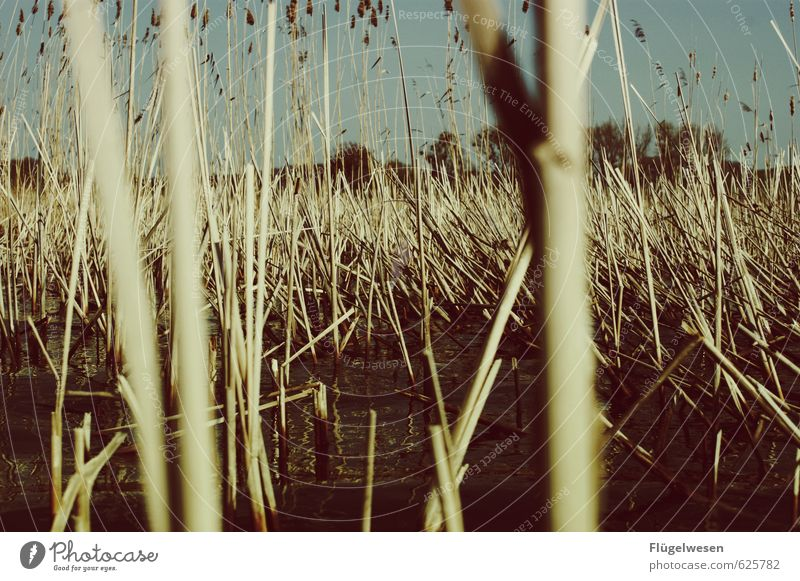 In the middle of the reed Summer Plant Climate Common Reed Lakeside Environmental protection Nature reserve Navigation Boating trip Survive
