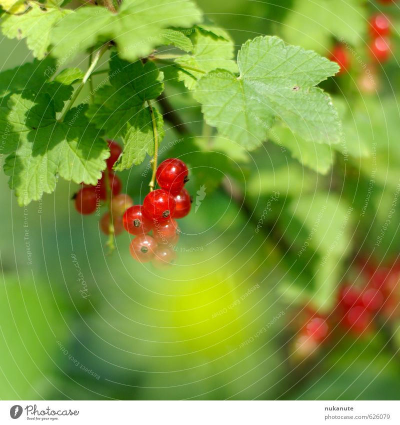 Nature Green Summer Red Healthy Garden Food Idyll Fruit Bushes Fresh To enjoy Nutrition Fitness Delicious Hang