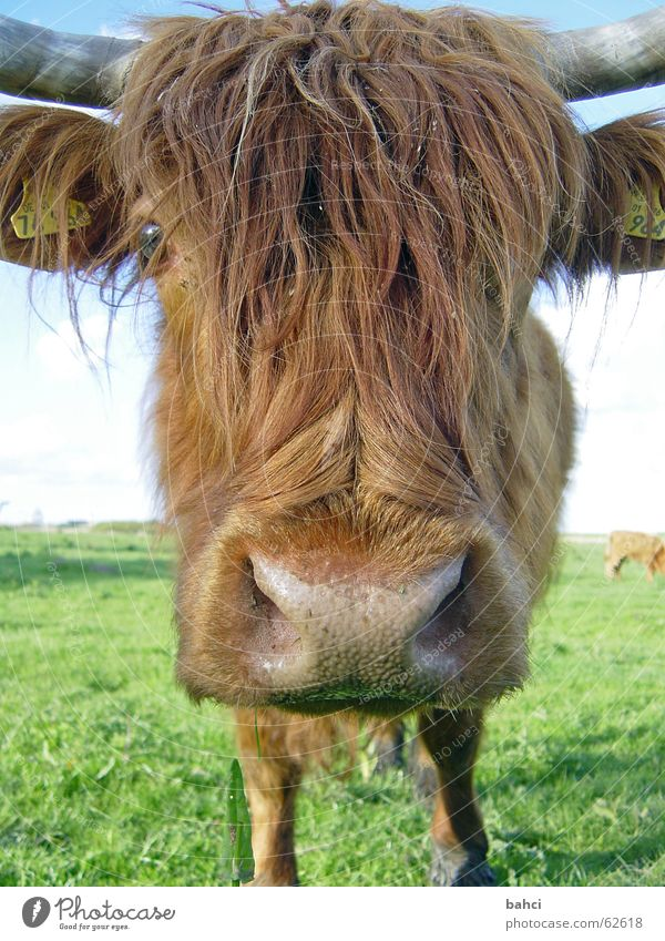 Animal Meadow Grass Head Brown Nose Pelt Pasture Cow Snout Cattle Bushy Cattle Pasture Livestock Nostril