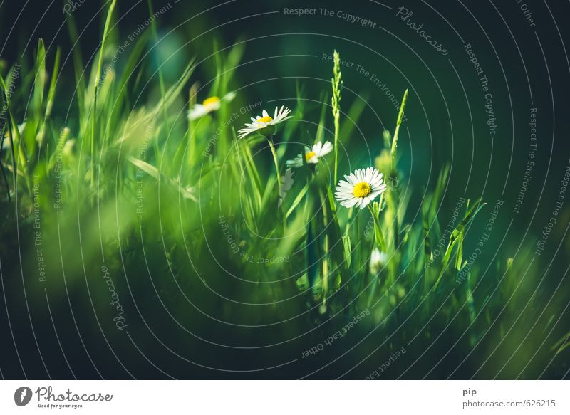 Nature Green White Plant Summer Sun Flower Dark Meadow Grass Spring Bright Fresh Beautiful weather Blade of grass Daisy