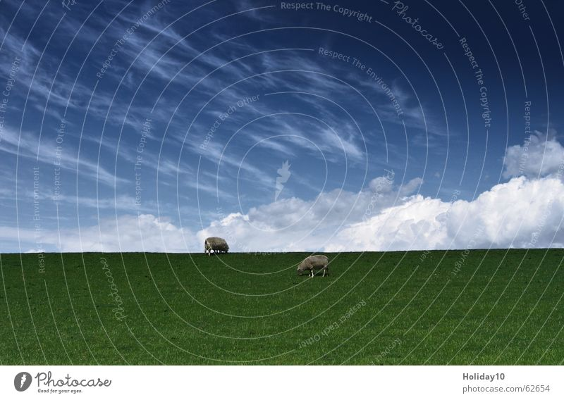 Among sheep Green Meadow Background picture Clouds Sky Blue Landscape