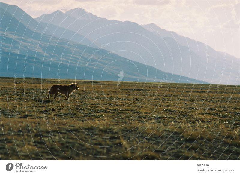dog's life Dog Set Steppe Grass Free Mountain hills Kyrgyzstan kyrgistan kyrgyzstan Far-off places Freedom run free