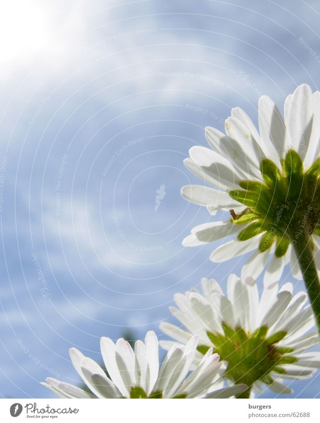 Nature Sky Sun Clouds Lawn Longing Daisy Aspire