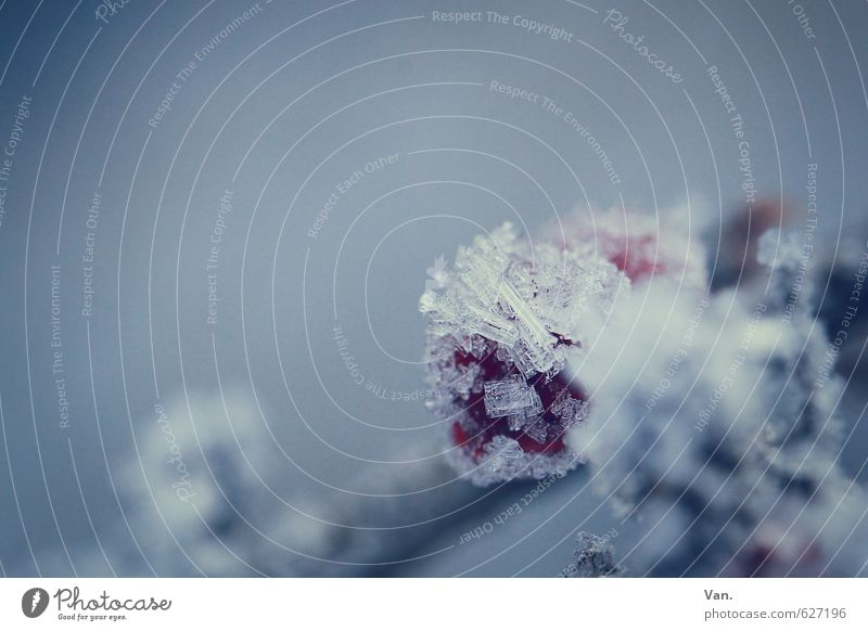 Shock Frozen Nature Plant Winter Ice Frost Snow Berries Fruit Twig Cold Soft Blue Gray Red Colour photo Subdued colour Exterior shot Close-up Detail Deserted