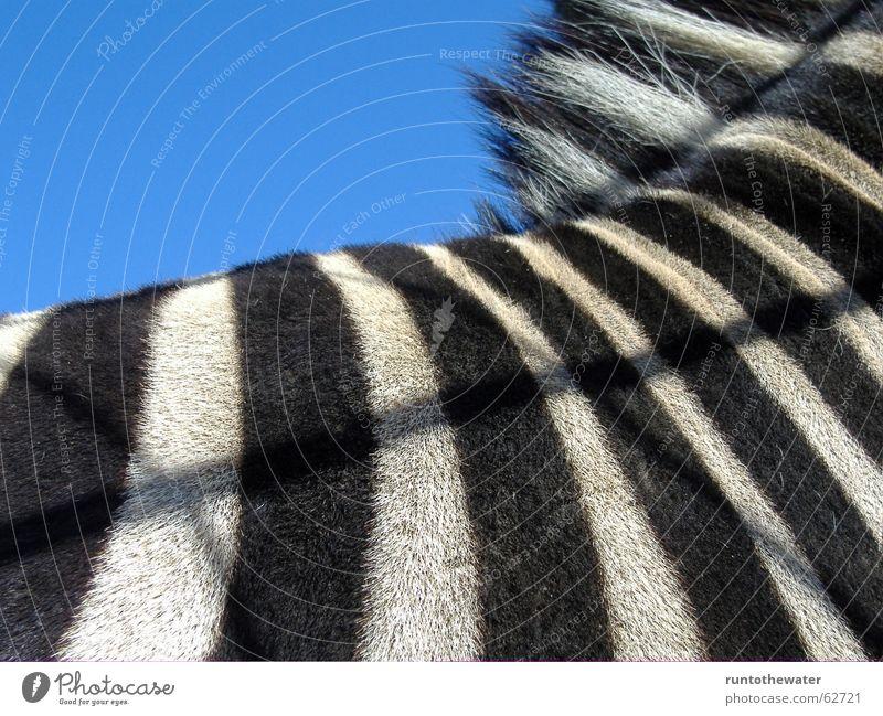 Exemplary Zebra Captured Black White Striped Pattern Animal Zoo Africa Wanderlust Sky Back Detail