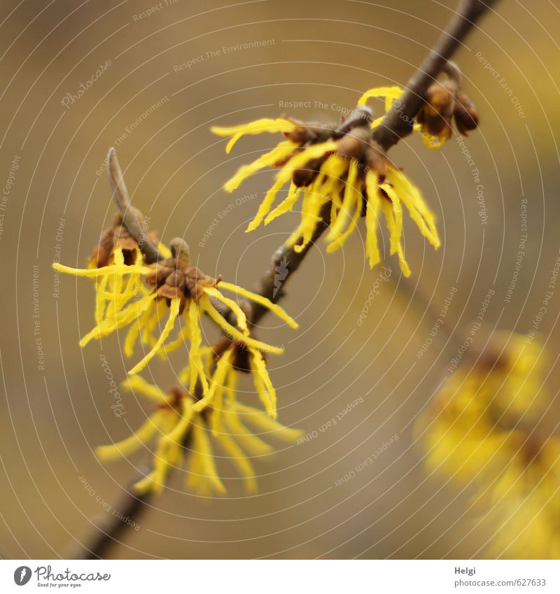 Winter flowers II Environment Nature Plant Bushes Blossom Ornamental plant Hamamelis japonica Twig Garden Blossoming Growth Esthetic Exceptional Beautiful Small
