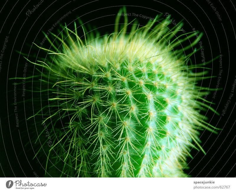 Green Black Dangerous Desert Pain Cactus Thorn Thorny Houseplant
