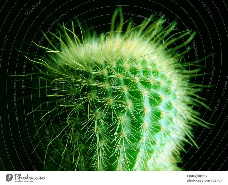 Green Black Dangerous Desert Pain Cactus Thorn Thorny Houseplant