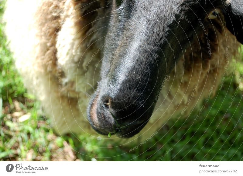 Woolen animal (1) Sheep Animal Pet Farm Meadow Mammal muttonhead Nose snort Ear Pasture grassland