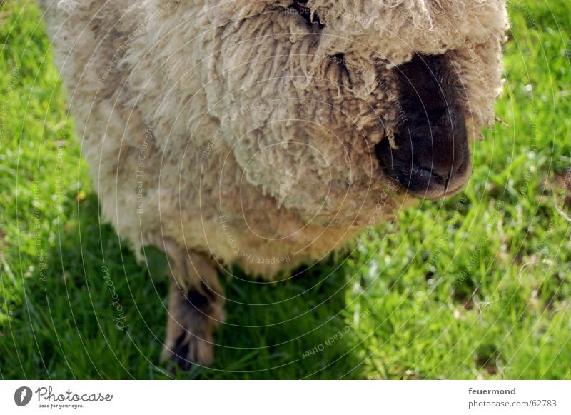 Woolen animal (2) Sheep Animal Pet Farm Meadow Mammal muttonhead Nose snort Ear Pasture grassland