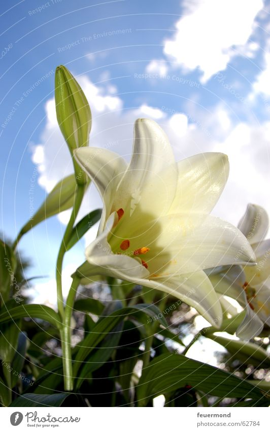 lilium Lily Plant Flower White Green Blossom Clouds Leaf Cemetery Funeral Nature Sun Beautiful weather Blue sky bloom