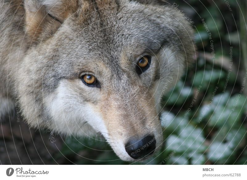 I'll see you Wolf Snout Pelt Green Brown Black Whisker Animal Looking Eyes Nose Wild animal Hair and hairstyles Orange