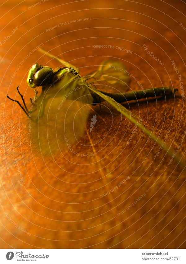 parched Dragonfly Insect Animal Tails Pierce Bee Flying Wood Pattern Table Dried Still Life Green Brown Yellow Beginning Pond Summer Close-up Glimmer Blur