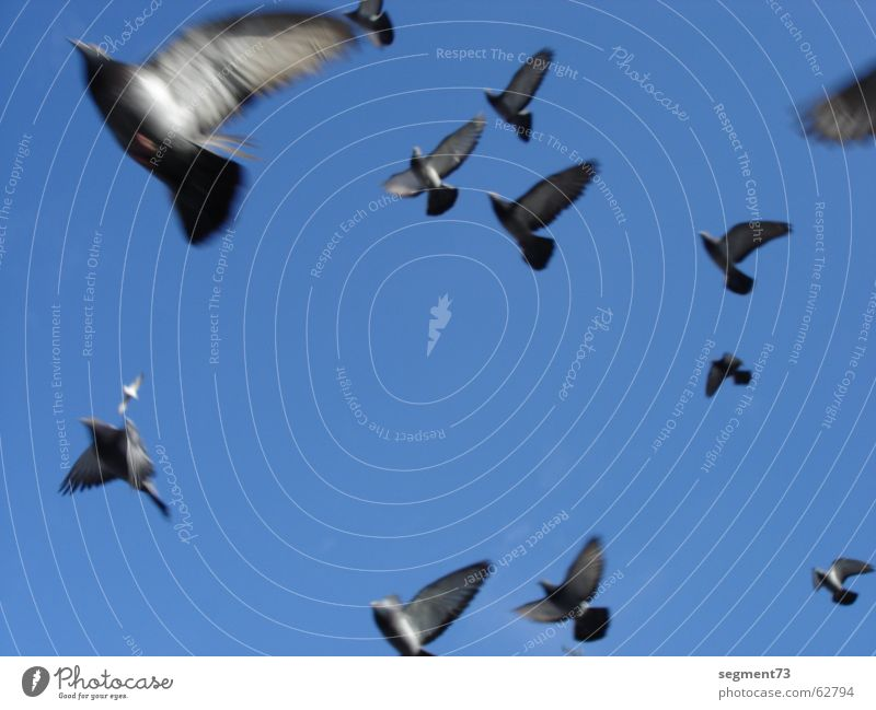 Pigeons fly dolle Bird Azure blue Speed Sky Flying Blue Wing Feather Upward view into heaven