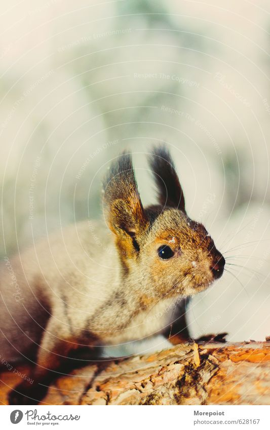 Squirrel Animal Wild animal Animal face 1 Jump Stand Brown Yellow Moody Bravery Colour photo Exterior shot Deserted Copy Space bottom Day Sunlight