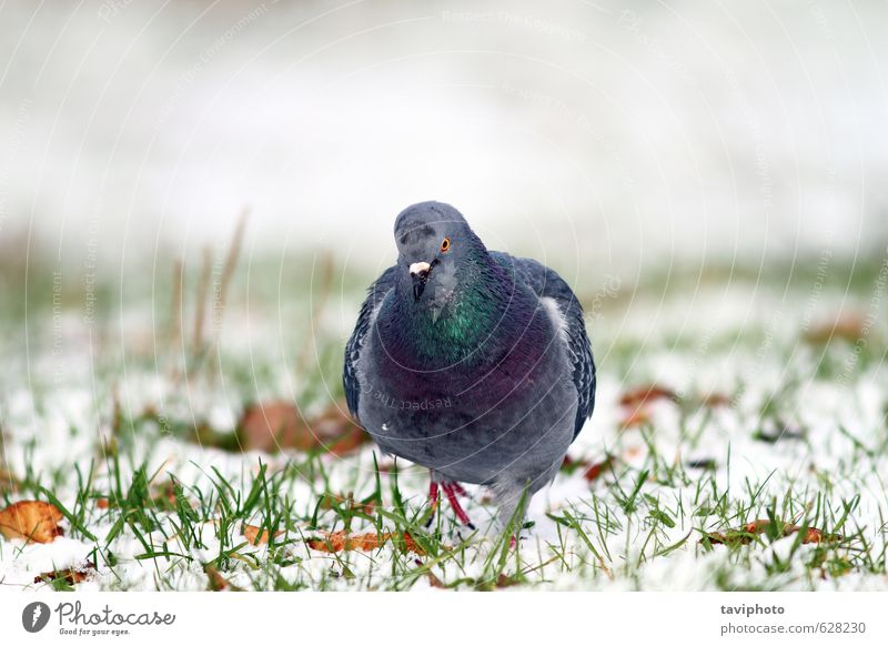 pigeon walking towards the camera Nature White Colour Animal Winter Snow Gray Freedom Natural Garden Bird Park Body Wild Feather Frost