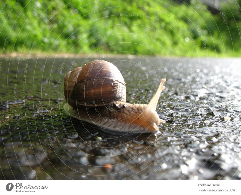 snail on wet road Vineyard snail Snail Rain Street