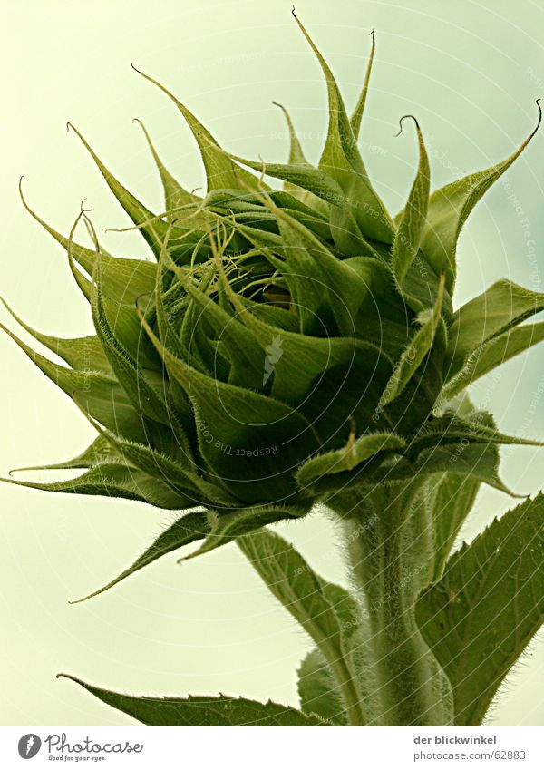 Green Blossom Growth Sunflower Occur