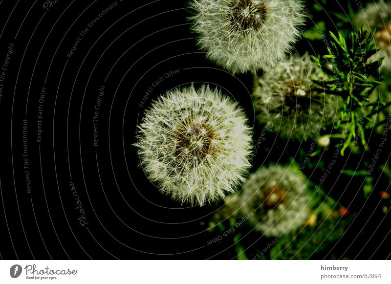 puff flowers Dandelion Flower Plant Seed Nature Wild plant Floristry Botany Garden Park Macro (Extreme close-up) Close-up