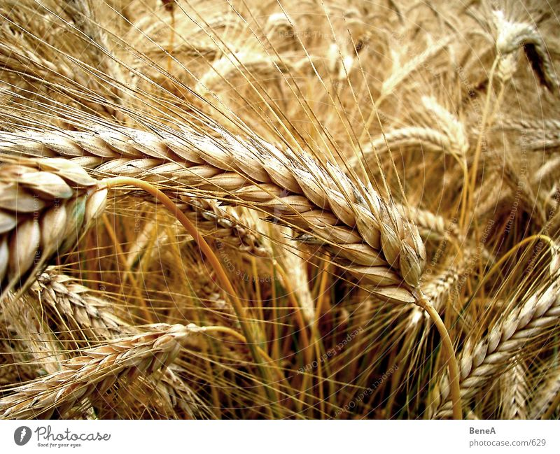 grain Wheat Field Agriculture Food Nutrition Ecological Biology Yellow Green Maturing time Growth Healthy Vegetarian diet Plant Stalk Grain Untouched Raw