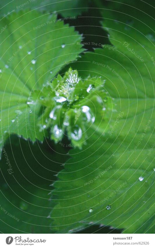 glass on the leaf? Meadow Green Fresh Rope Water Morning Calyx