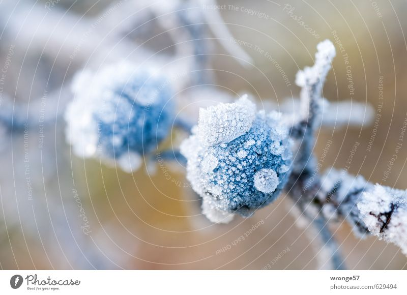 Icelehen II Nature Plant Winter Frost Bushes Agricultural crop Wild plant Blackthorn Cold Near Brown White Berries Blue Hoar frost Twigs and branches Fruit