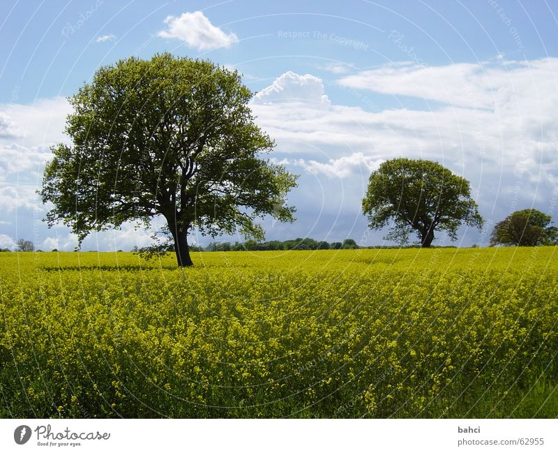 Sky Nature Blue Green Tree Summer Clouds Yellow Autumn Landscape Canola Canola field Green pastures