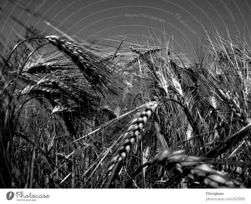 Wheat SW Plain Niederrhein Working in the fields Field Barley Agriculture Agra Ear of corn Grain Landscape Harvest Americas Black & white photo black white erre