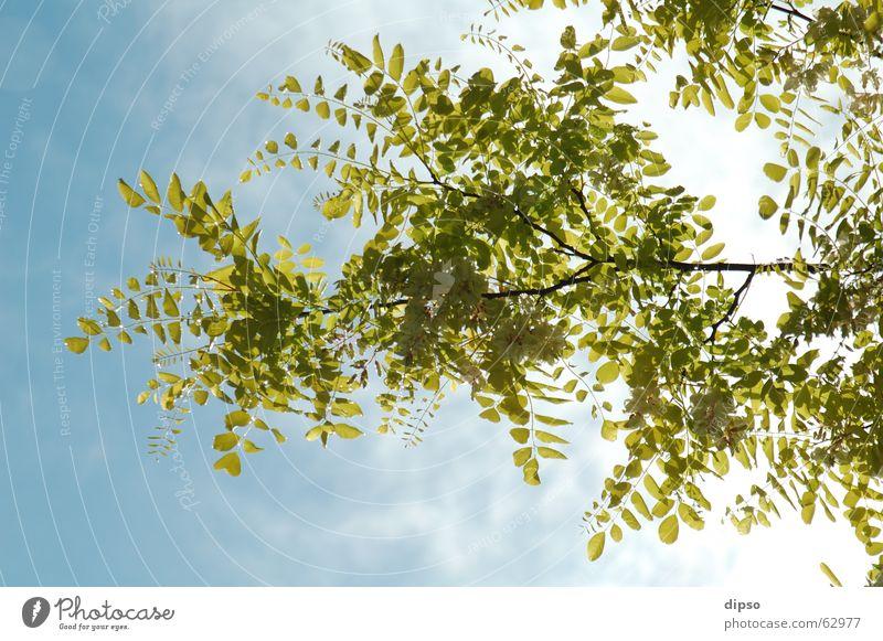 After the cloudburst ... Vinegar Tree Back-light Summer Spring Leaf Blossom Yellow White Mood lighting Sky Blue