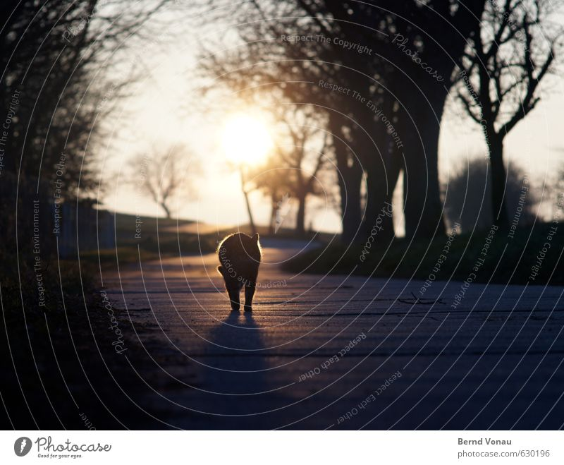 Shadow Tiger Hair and hairstyles Sun Animal Warmth Tree Lanes & trails Cat Blue Orange Black White Sunset Branch Contour Country life Legs Colour photo
