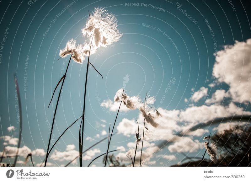 up in the sky Nature Landscape Plant Sky Clouds Horizon Sun Summer Beautiful weather Grass Cotton grass Cotton gras meadow Wetlands Bog Esthetic Infinity Bright