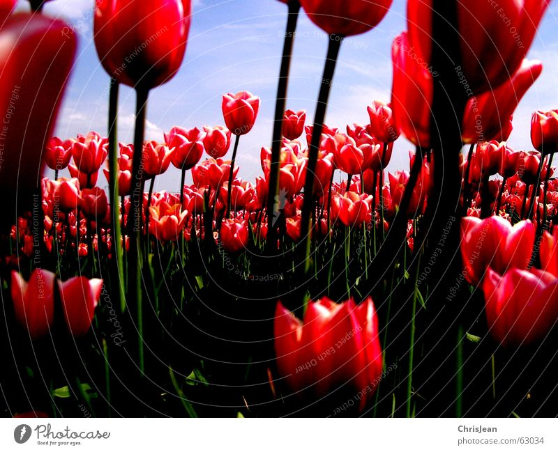 Tulip field 2 Light Against Red Pink Illuminate Flower Sky blue Field Blade of grass Life Agra Agriculture Versatile Painting and drawing (object) Sharp Clouds