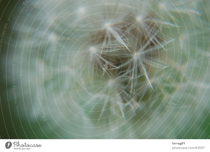 Blow! Dandelion Meadow Air Playing Unpredictable Hard Beautiful White Soft Delicate Fragile Ready to start Propagation Sowing Precious Yellow Flower Skydiver