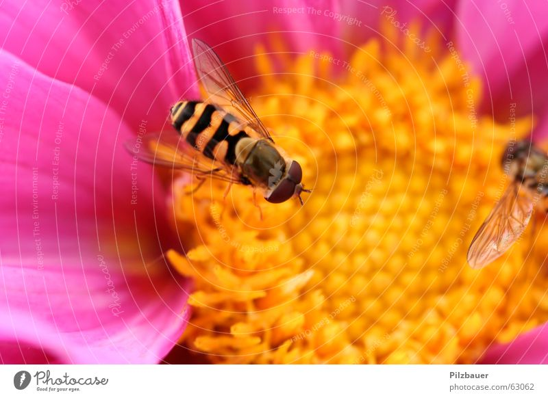 Flower Joy Life Pink Violet Bee Animal